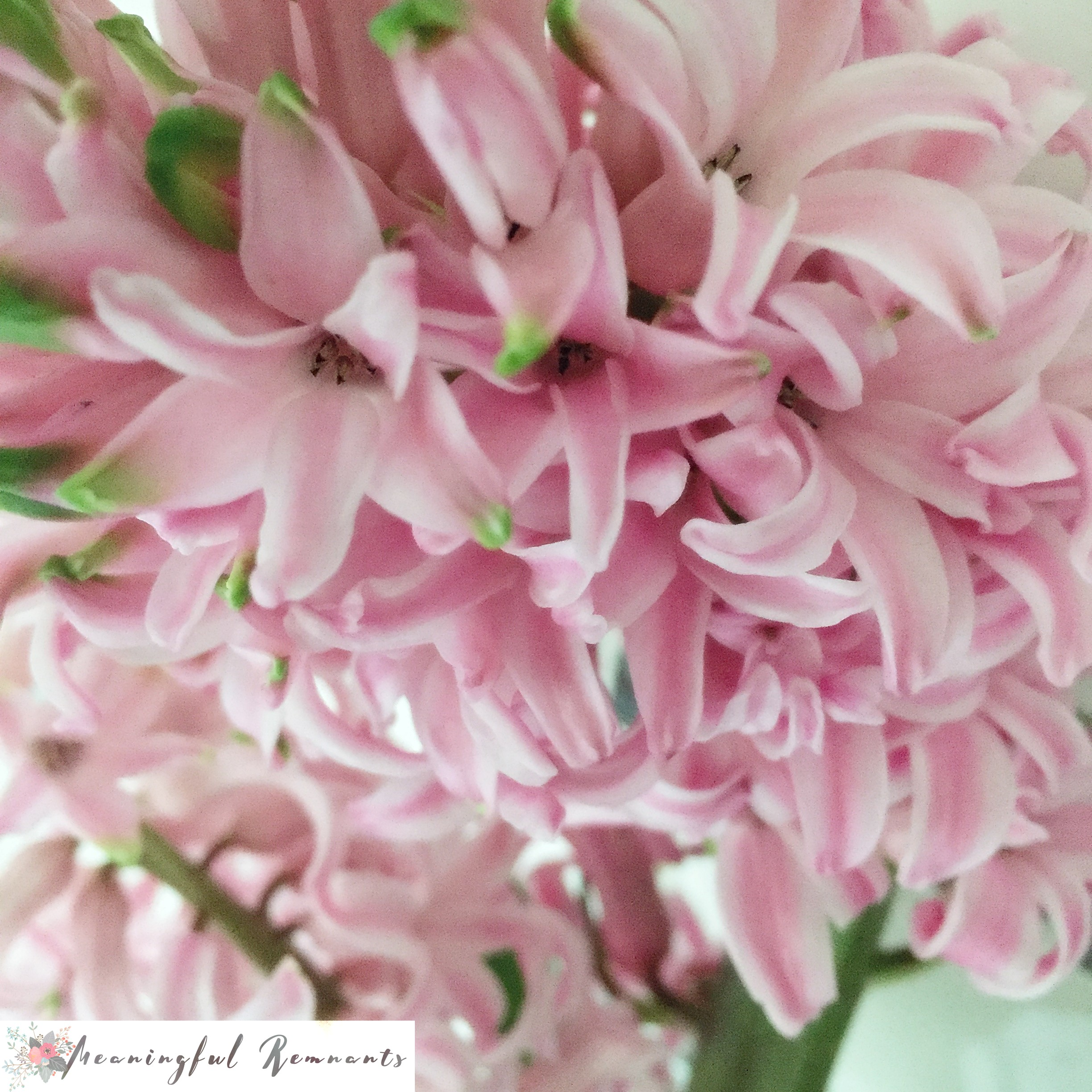 hyacinth bloom